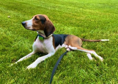 Dr. Payet's coonhound, Hershey